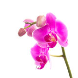 Pink Orchid flowers. Pink orchid isolated on white Stock Image