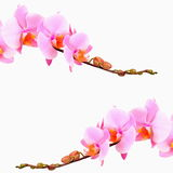 Pink orchid flowers, isolated Royalty Free Stock Photography