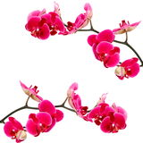 Pink orchid flowers, isolated Stock Images