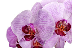 Pink orchid flowers isolated on white Stock Photography