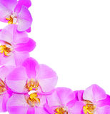Pink Orchid Flowers isolated Royalty Free Stock Image