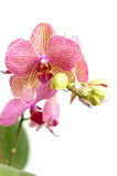 Pink orchid flowers isolated on white. White background with pink orchid flowers Stock Photography