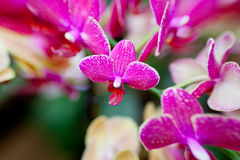Pink Orchid Flowers on Leaves Background Royalty Free Stock Photography