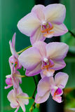Pink Orchid Flowers on Leaves Background Stock Photo