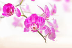Pink orchid flowers macro Stock Photography