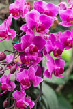 Pink orchid flowers. At north of thailand Royalty Free Stock Photo