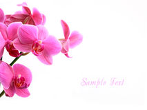 Pink orchid flowers over white with copyspace Stock Photo