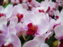 Pink orchid flowers. In Thailand Royalty Free Stock Photo