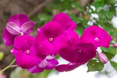 Pink orchid flowers with natural bokeh background Stock Images