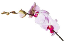 Pink orchid flowers on white background Royalty Free Stock Image