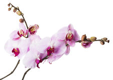 Pink orchid flowers on white background Stock Photo