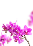 Pink orchid flowers on white Stock Photography