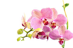 Pink orchid flowers on white  background. Pink orchid flowers isolated on white  background Royalty Free Stock Photography