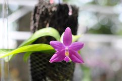 A Pink Orchid Stock Photography