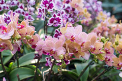 Pink orchid in the garden Royalty Free Stock Photos