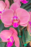 Pink Orchid in the garden Stock Photo