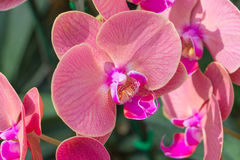 Pink Orchid in the garden Stock Images
