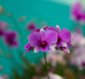 Pink orchid in the garden. Royalty Free Stock Image