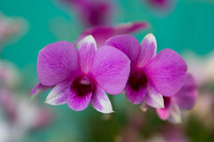 Pink orchid in the garden. Stock Photo