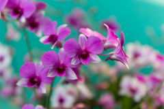 Pink orchid in the garden. Royalty Free Stock Photo