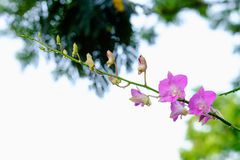 Pink orchid. In the garden after raining Stock Image