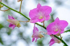 Pink orchid. In the garden after raining Royalty Free Stock Photo