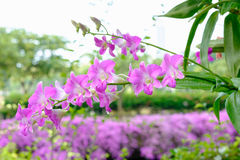 Pink orchid. In the garden after raining Royalty Free Stock Photos