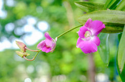 Pink orchid. In the garden after raining Stock Images