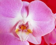 Pink orchid, gentle flower. Stock Photos