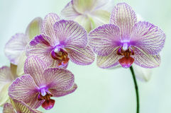 Pink Orchid. Gorgeous close up of pink orchid flowers Royalty Free Stock Image