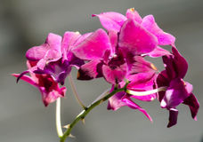 Pink Orchid. On graden Stock Images