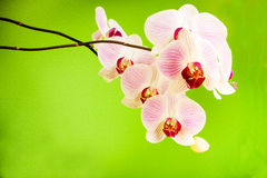 Pink orchid on green background Stock Image