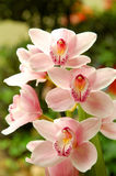 Pink Orchid. A Pink Orchid on a green background Stock Images