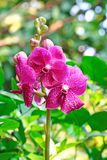 Pink orchid with green background Stock Image