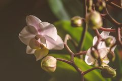 Pink orchid with green leaves on black blurry background stock image