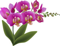 Pink orchid with green leaves and buds on white Stock Photo