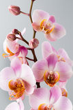 Pink orchid on the grey background. Stock Photography