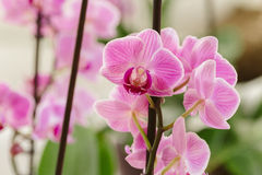 Pink orchid growing in the interior. Growing pink orchid in interior Royalty Free Stock Photo
