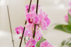 Pink orchid growing in the interior. Growing pink orchid in interior Royalty Free Stock Images