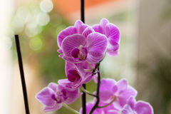 Pink orchid growing in the interior. Growing pink orchid in interior Stock Images