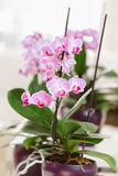 Pink orchid growing at interior. Pink orchid growing at home Stock Images