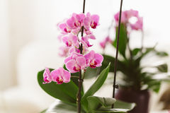 Pink orchid growing at interior. Pink orchid growing at home Royalty Free Stock Photography