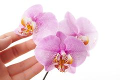 Pink orchid with a hand touching it Royalty Free Stock Image