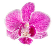 Pink orchid head, isolated on a white background Royalty Free Stock Photo