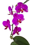 Pink orchid - isolated Stock Photography