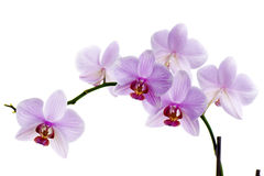 Pink orchid isolated Stock Photography