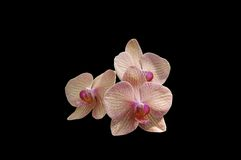 Pink orchid isolated. A isolated picture of three pink orchids on black background Royalty Free Stock Photography