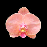 Pink orchid isolated on black Royalty Free Stock Photos