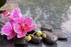 Pink orchid isolated on black background. Stock Photography