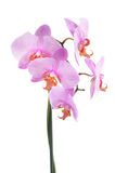 Pink orchid isolated on a white. Background. Tiger phalaenopsis branch closeup Stock Photo